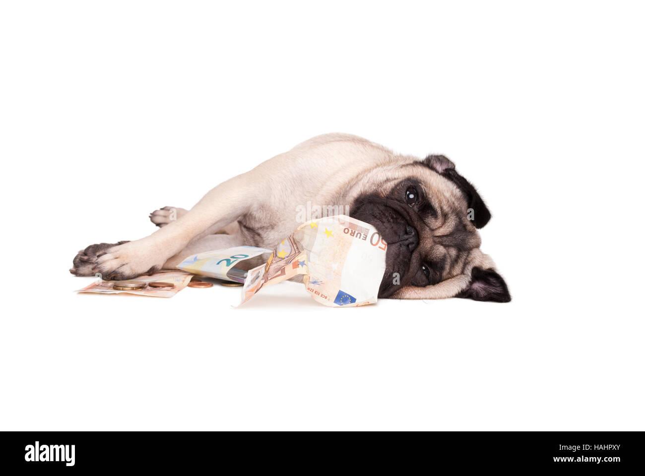 pug dog puppy playing around with money, euro - Stock Image