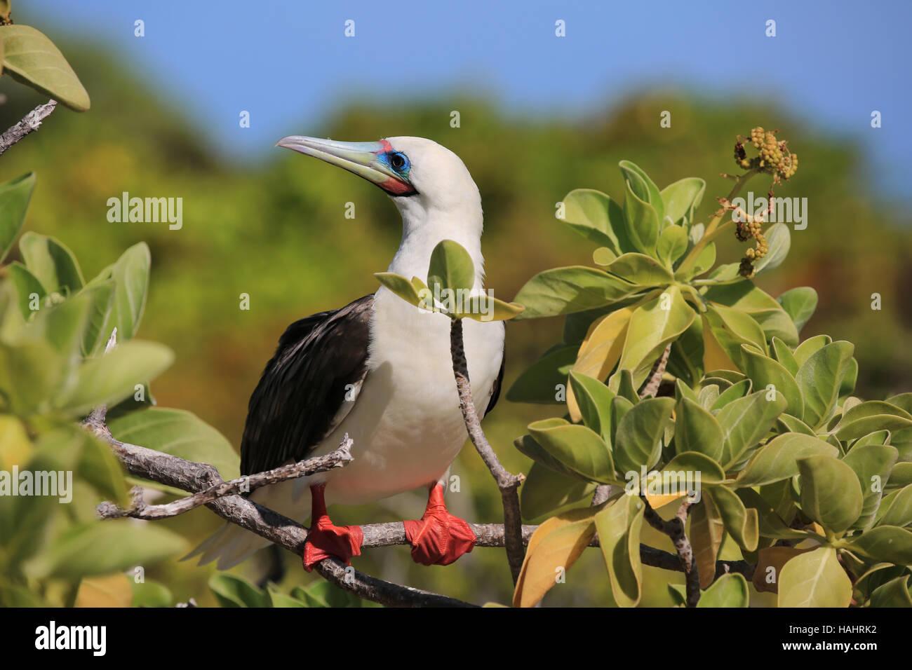 Red-footed Booby bird, Christmas (Kiritimati) Island, Kiribati - Stock Image