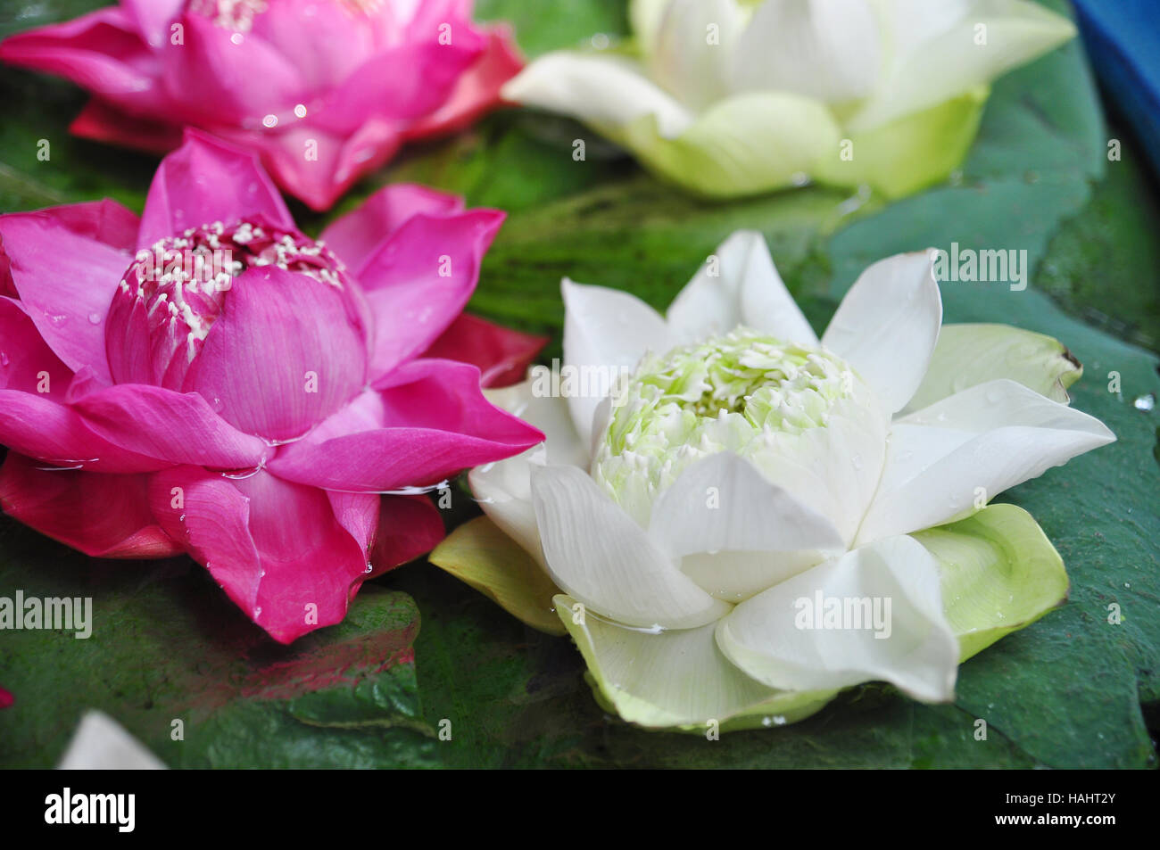 Colorful lotus flower on water for buddha in thailand stock photo colorful lotus flower on water for buddha in thailand mightylinksfo