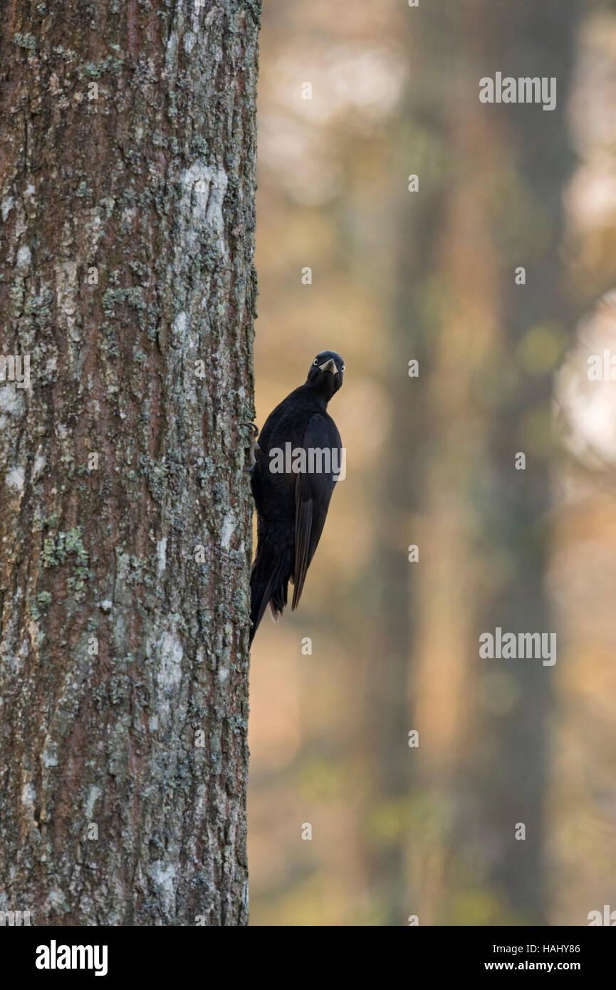 Black Woodpecker / Schwarzspecht ( Dryocopus martius ) sitting at an oak tree, watching over its shoulder, nice - Stock Image