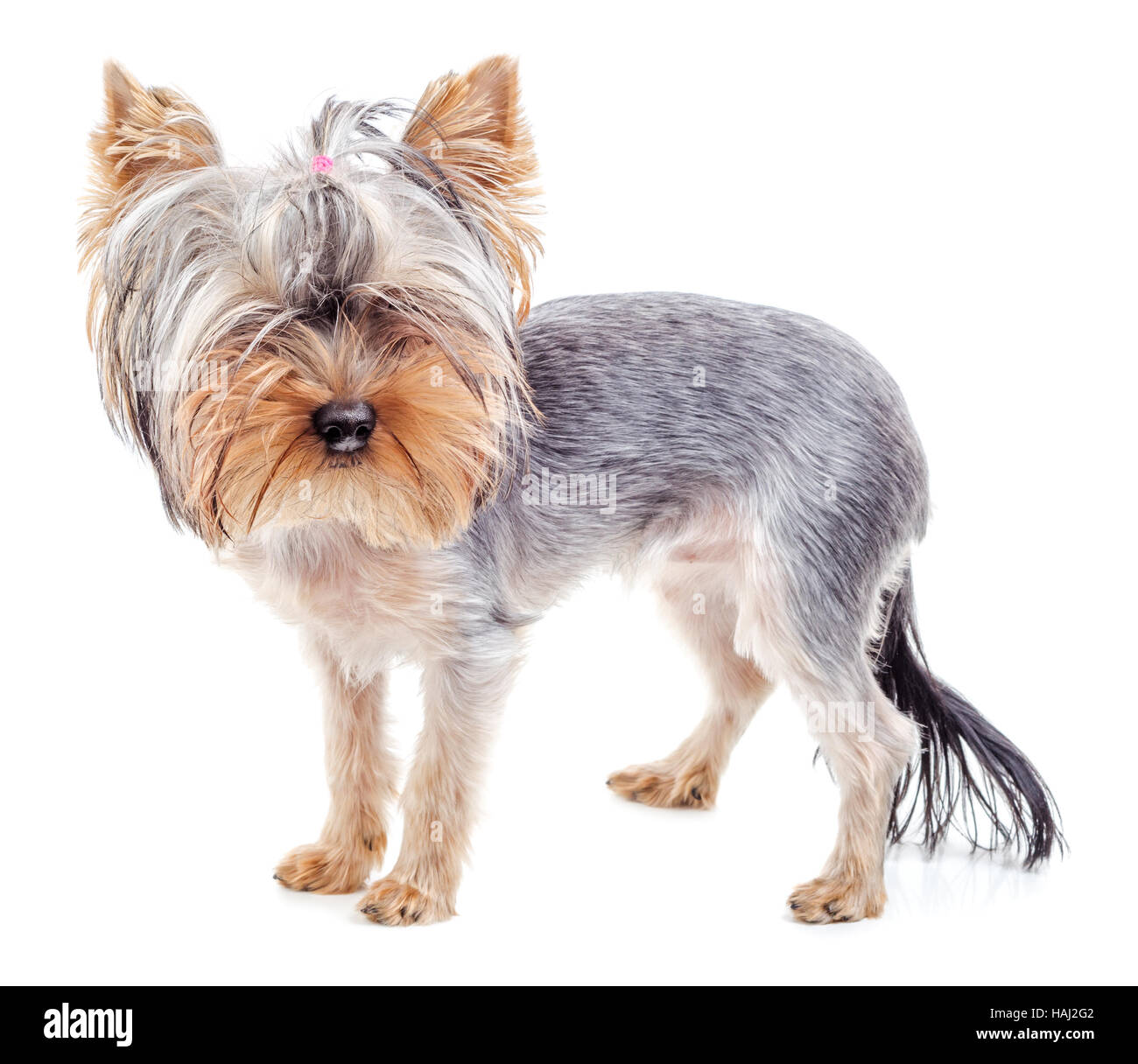 Yorkshire Terrier After Grooming Hair Cut Isolated On White Stock