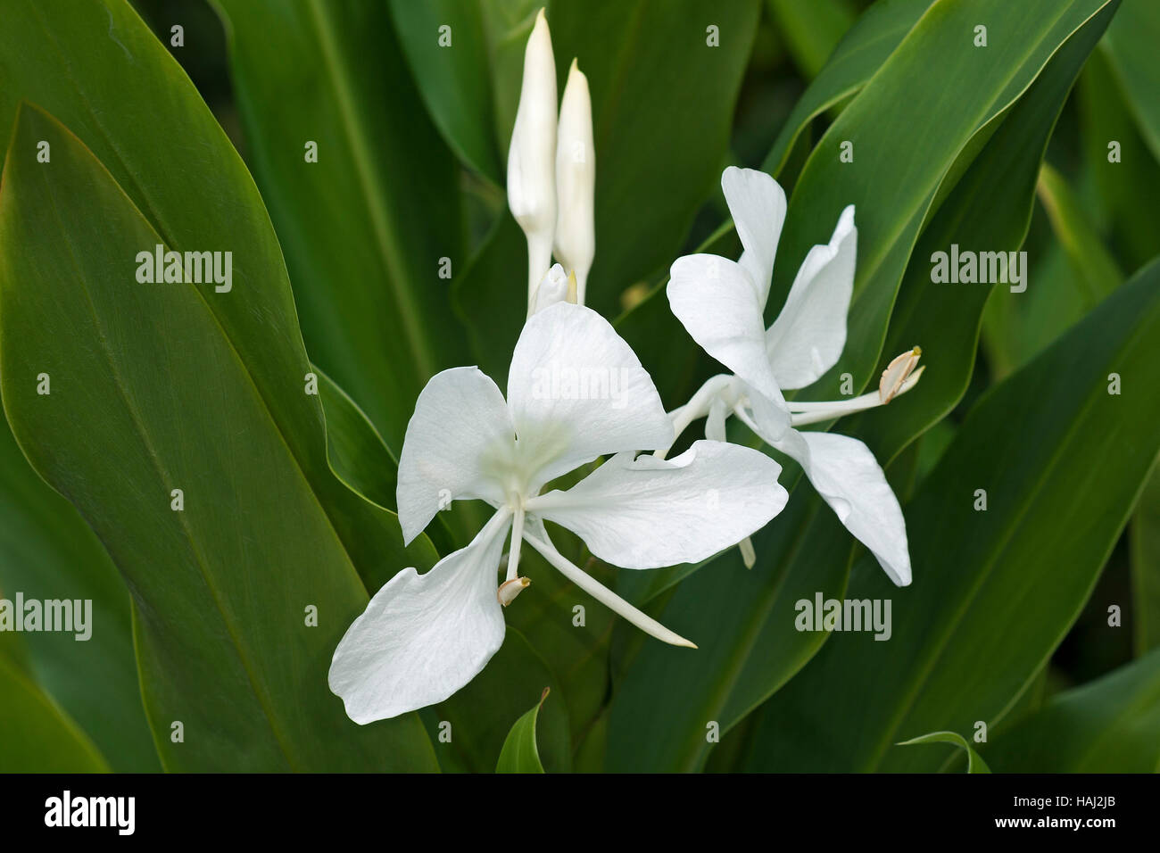 White Ginger Lily Flowers Stock Photo 127016355 Alamy