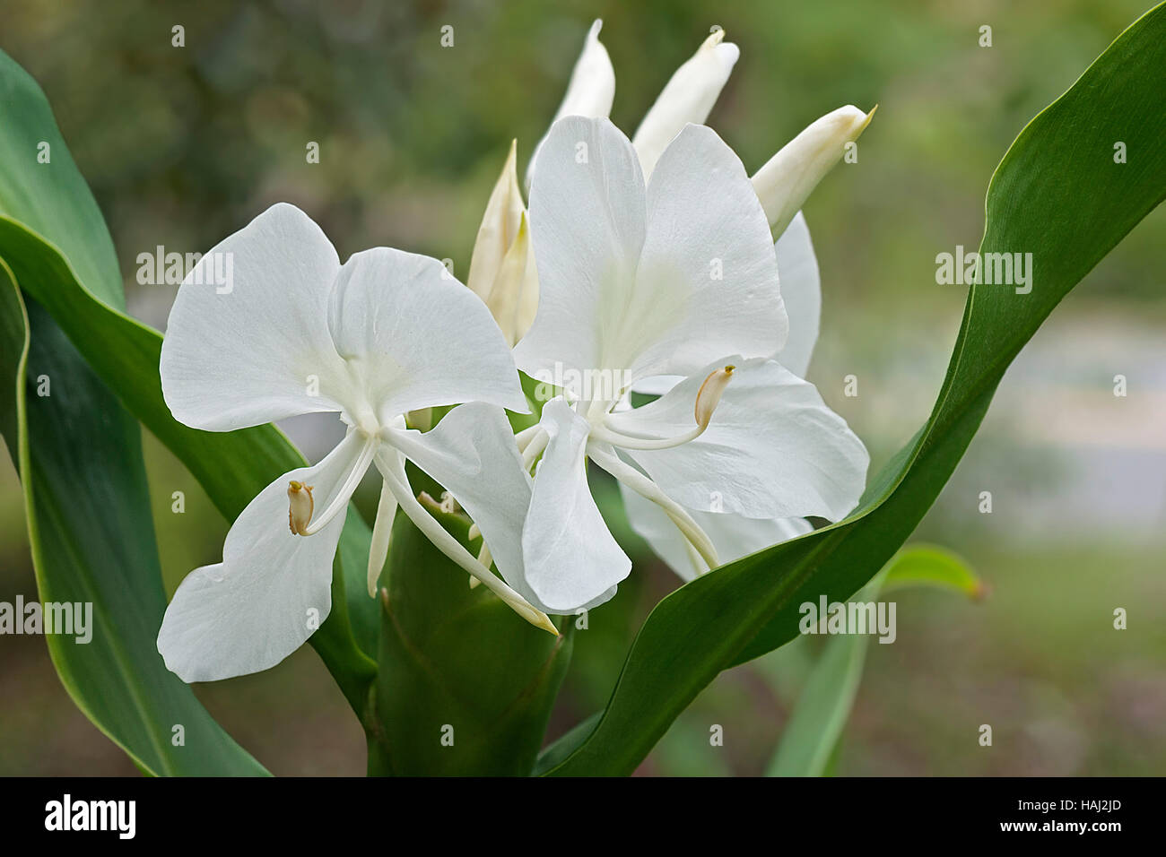White ginger lily flowers stock photo 127016357 alamy white ginger lily flowers mightylinksfo