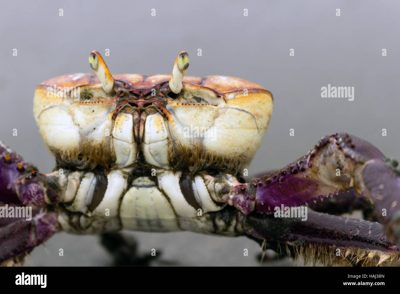 "Mangrove crab (Ucides cordatus) known as ""caraguejo uçá"" walking on the beach Stock Photo"