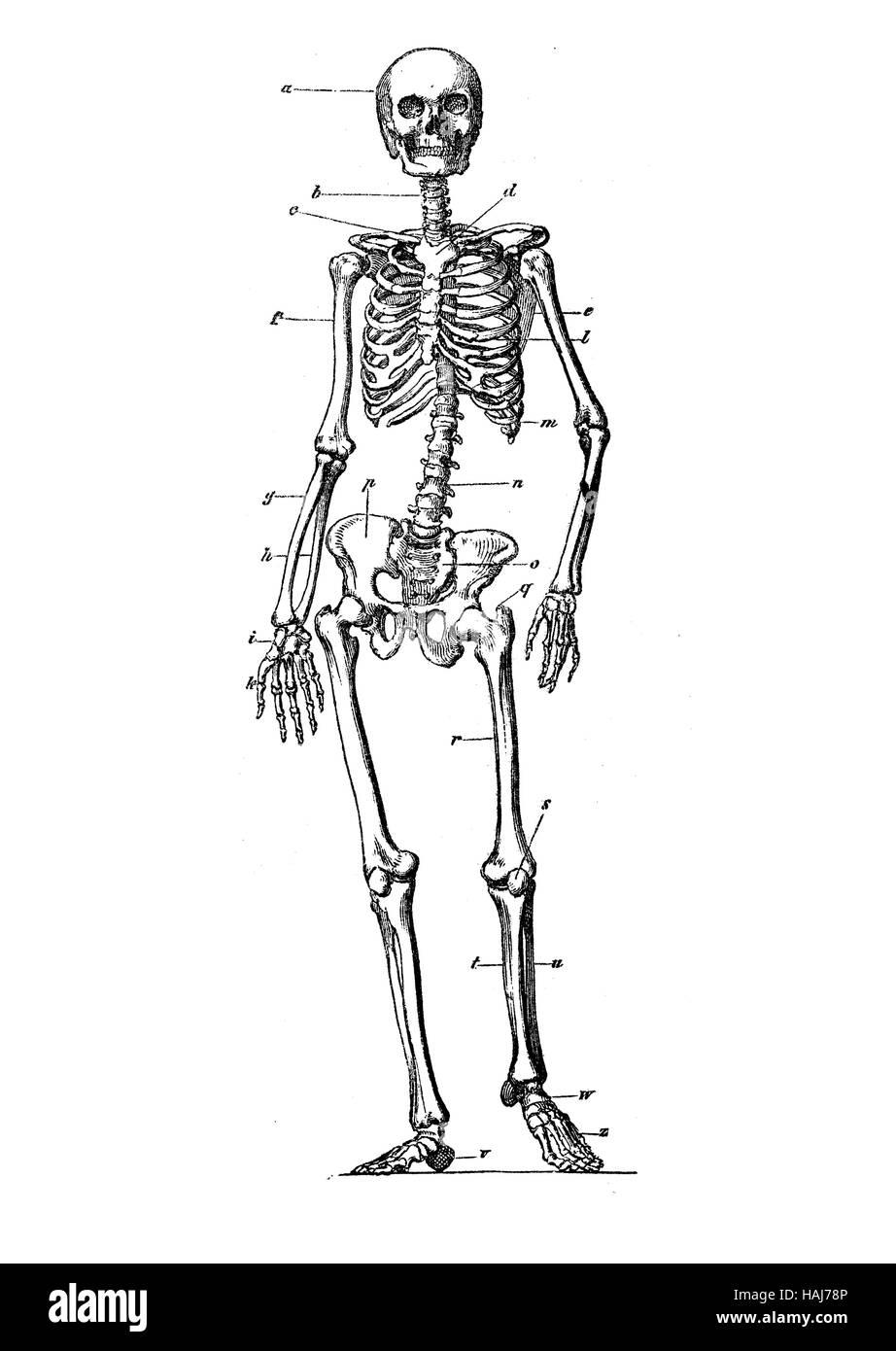 Human skeleton standing anatomy, engraving XIX century - Stock Image