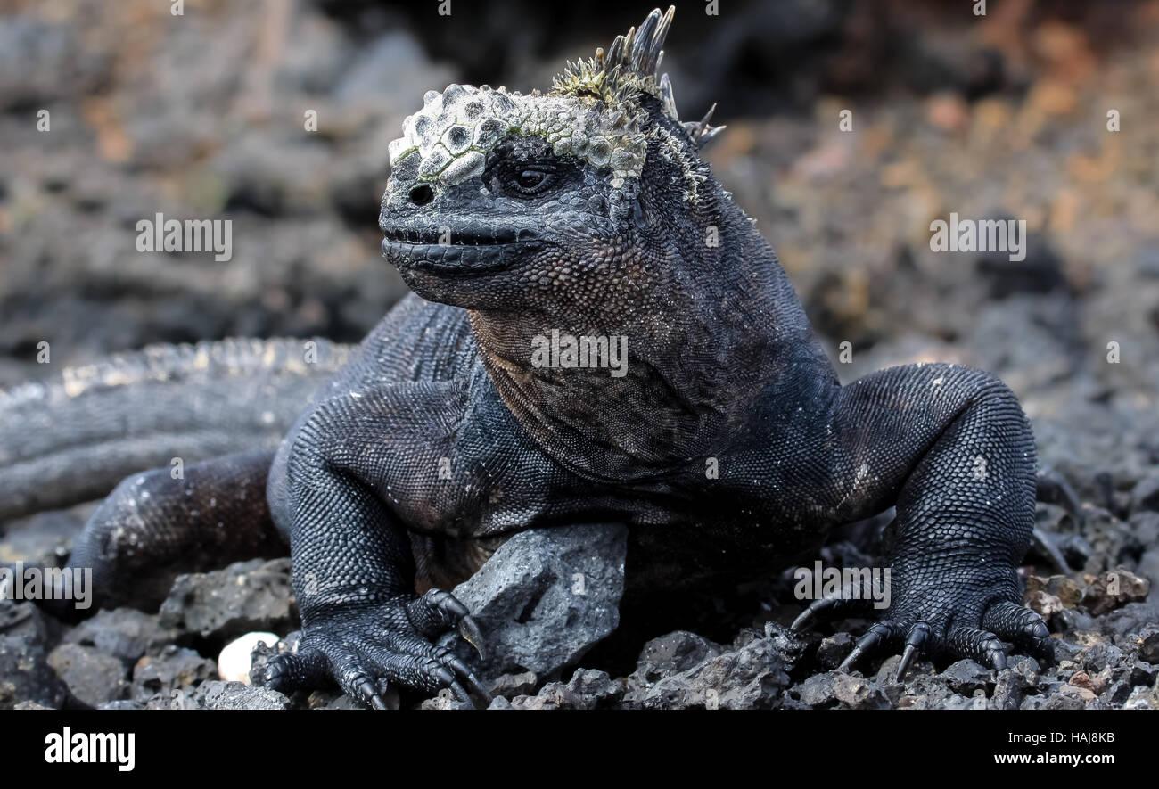 Marine iguana sits on a lava rock, Galapagos - Stock Image