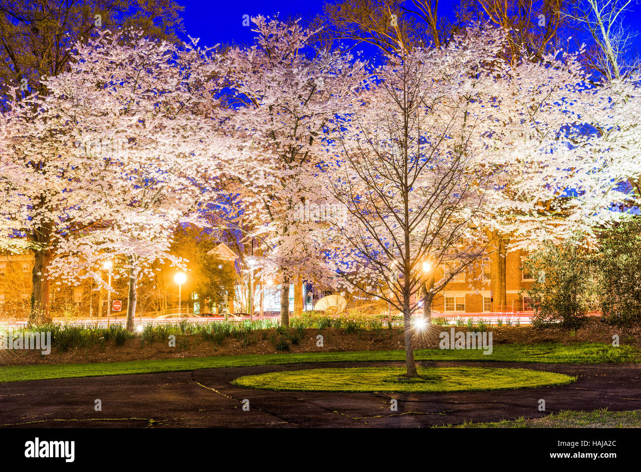 Spring cherry blossoms foliage at night in Athens, GA, USA. - Stock Image