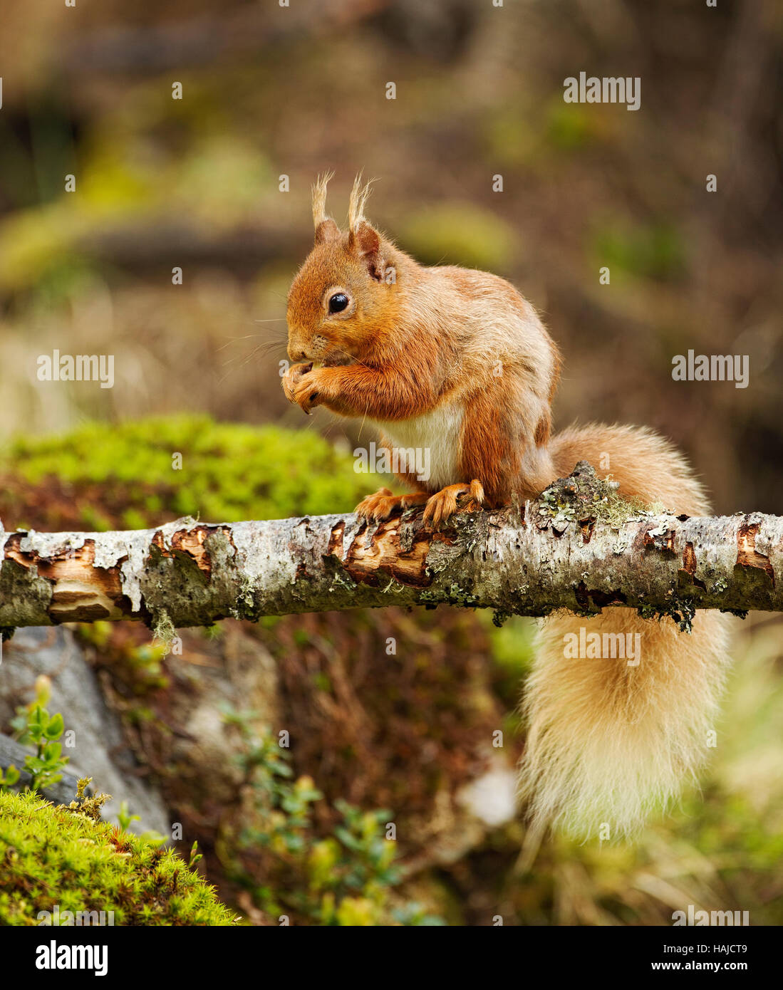 Red squirrel sitting on a dead tree branch eating Stock Photo