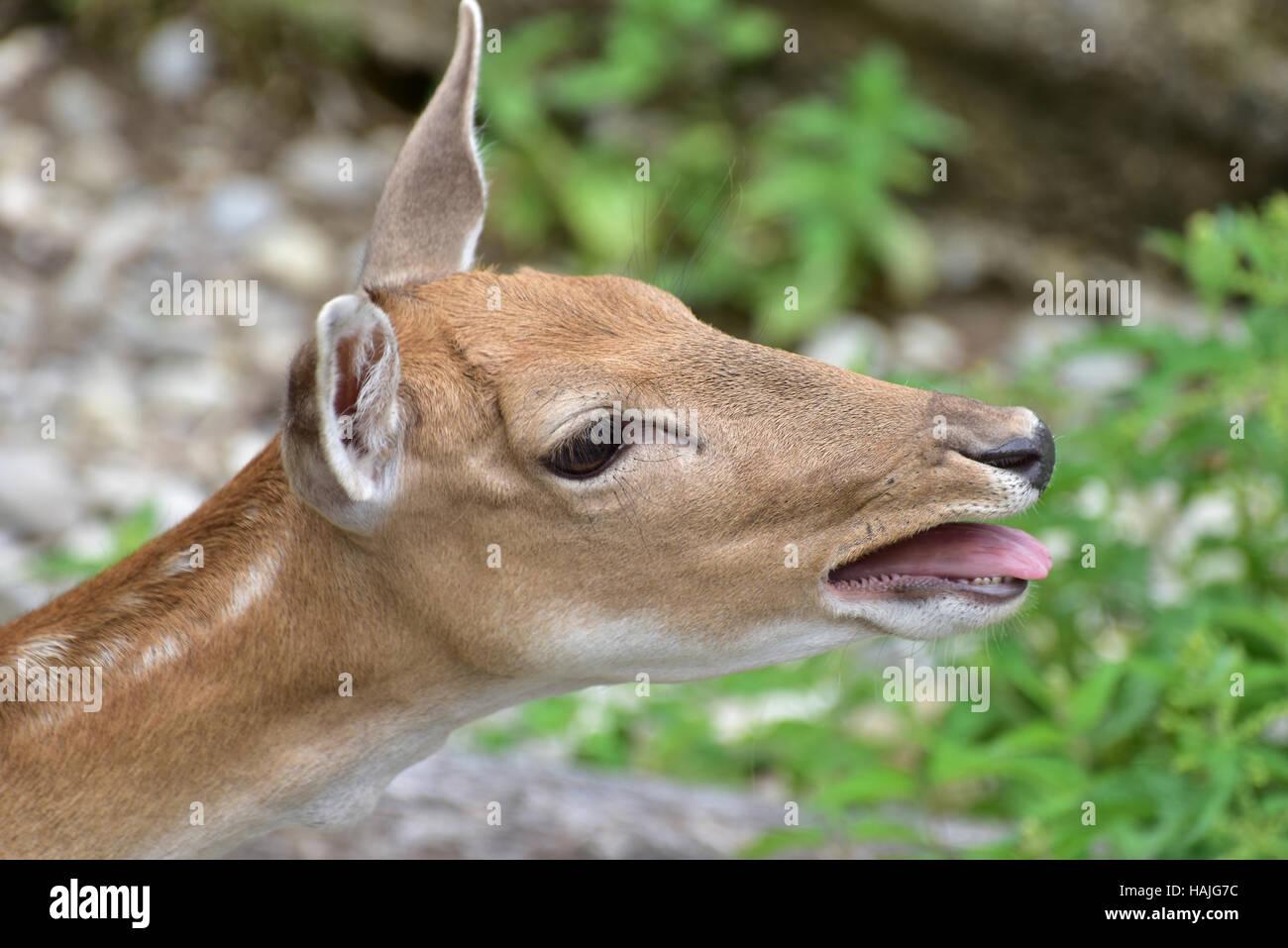 Doe Fallow deer(dama dama) braying at her herd. - Stock Image