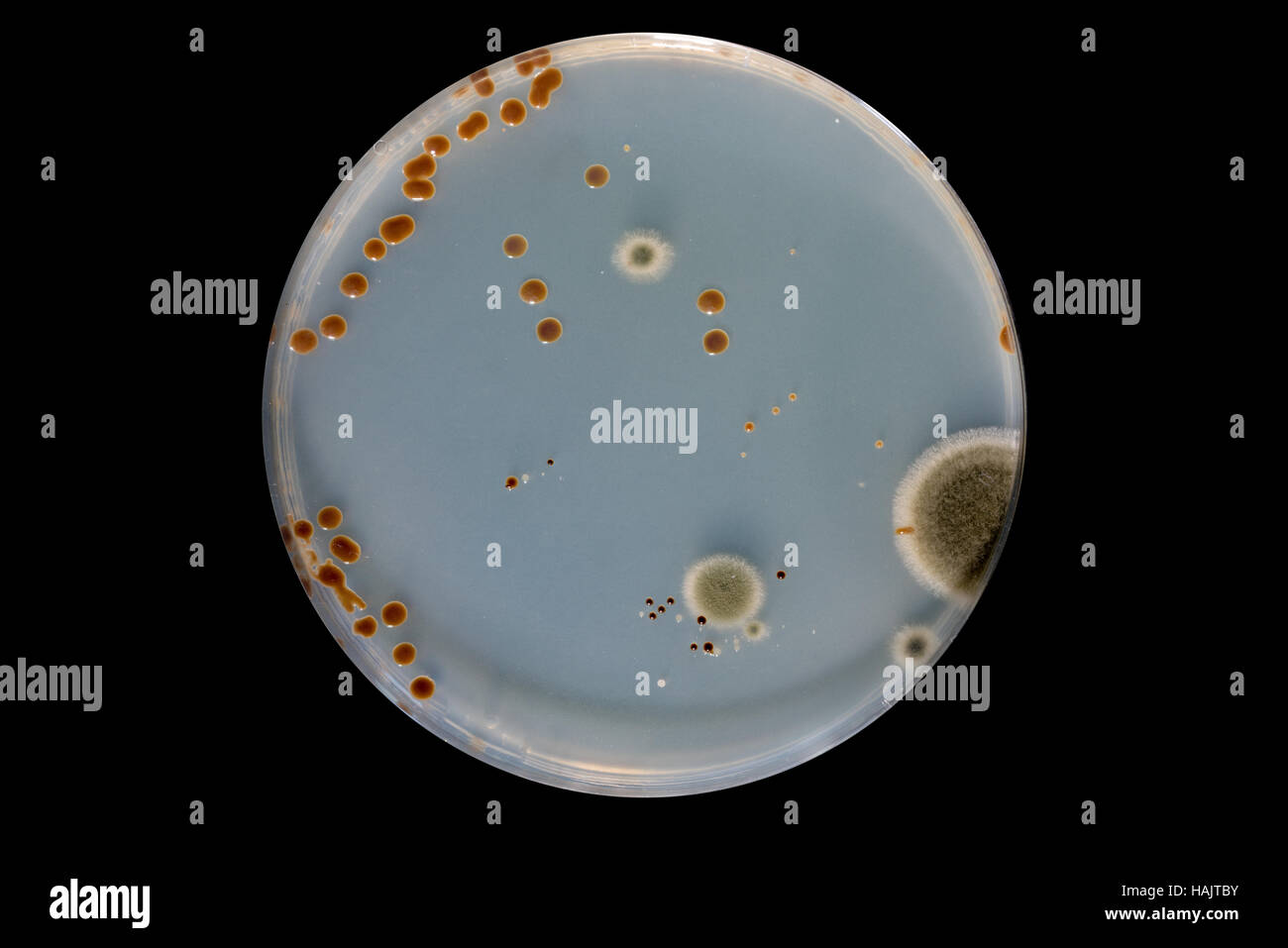 Research various microorganisms / microflora in petri dishes - Stock Image
