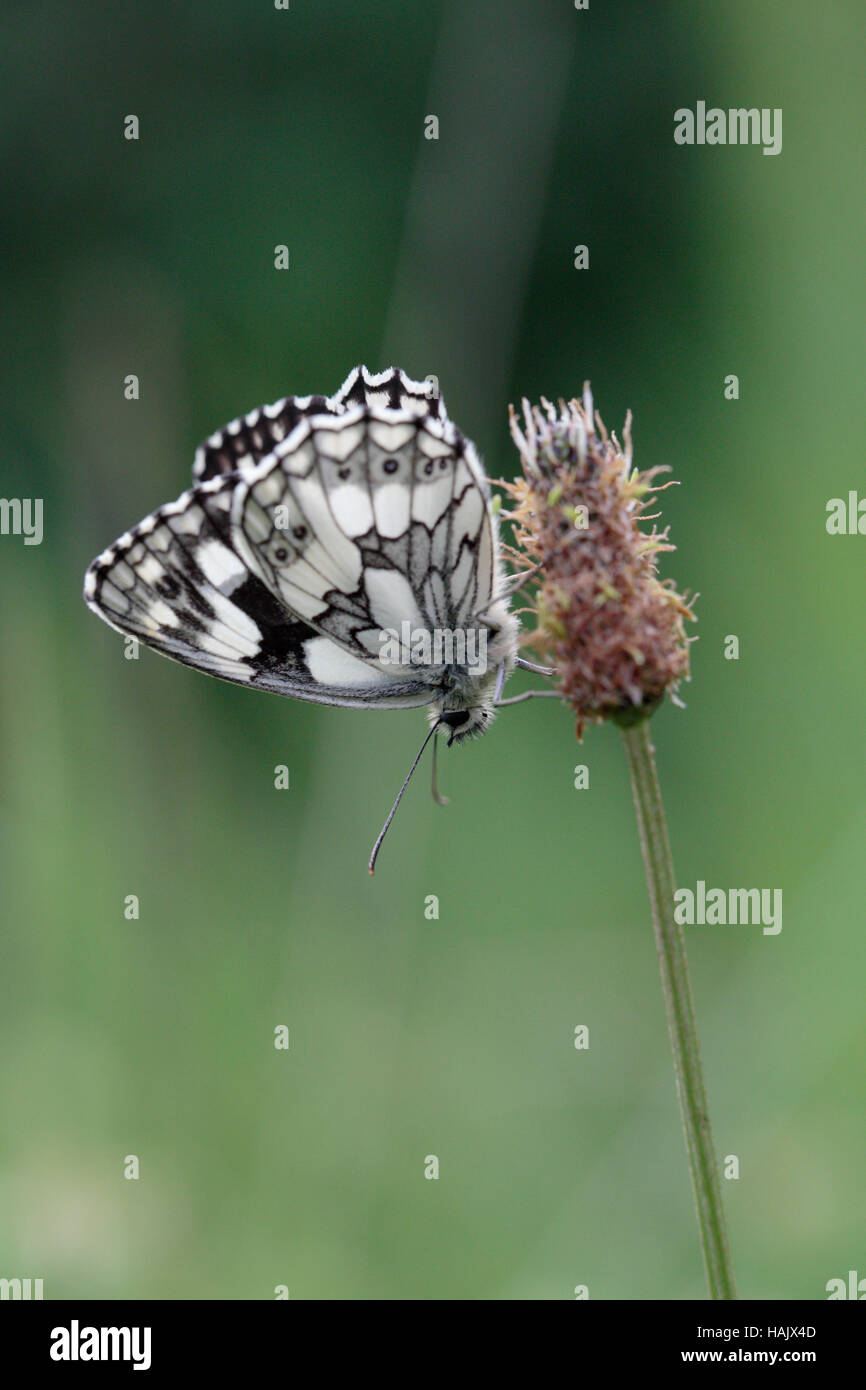 Marbled white butterfly (Melanargia galathea) in seedhead - Stock Image