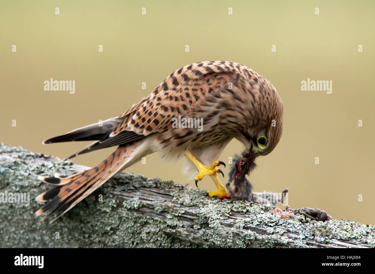 A young kestrel (Falco tinnunculus) eating her breakfast on an old wooden roundpole fence early in the morning. - Stock Image