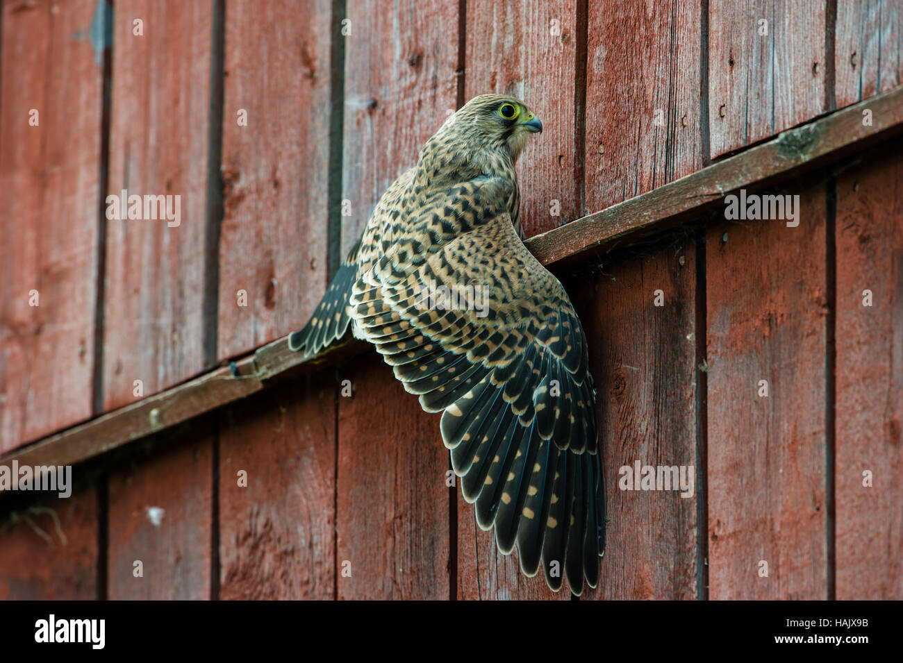 The juvenile kestrel (Falco tinnunculus) have to learn to fly and specially land, here a splash down in the wall - Stock Image