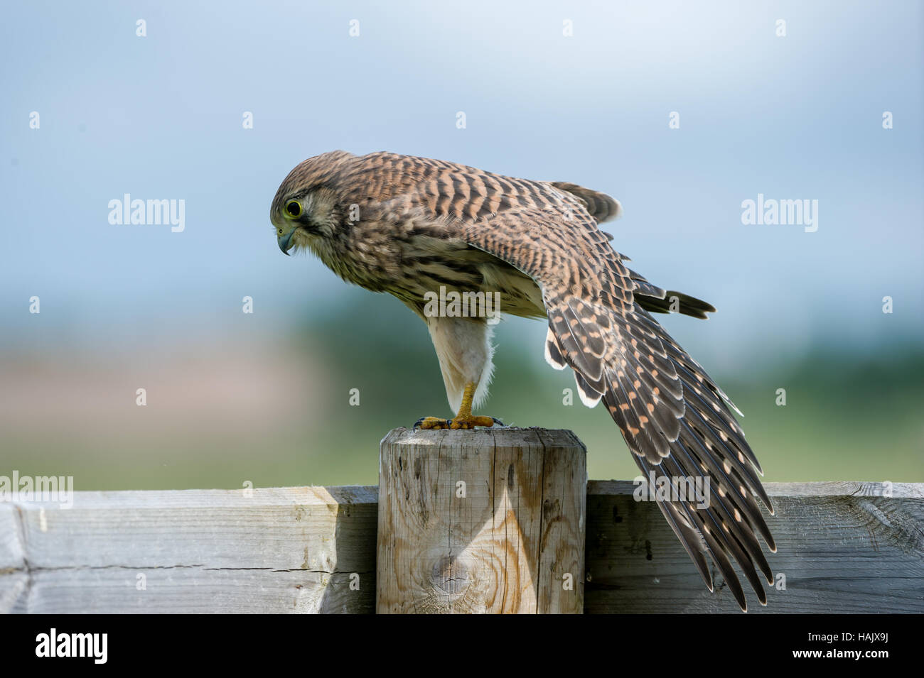 The beautiful juvenile kestrel (Falco tinnunculus) stretches the wings on top of the fence with a nice bokeh in - Stock Image