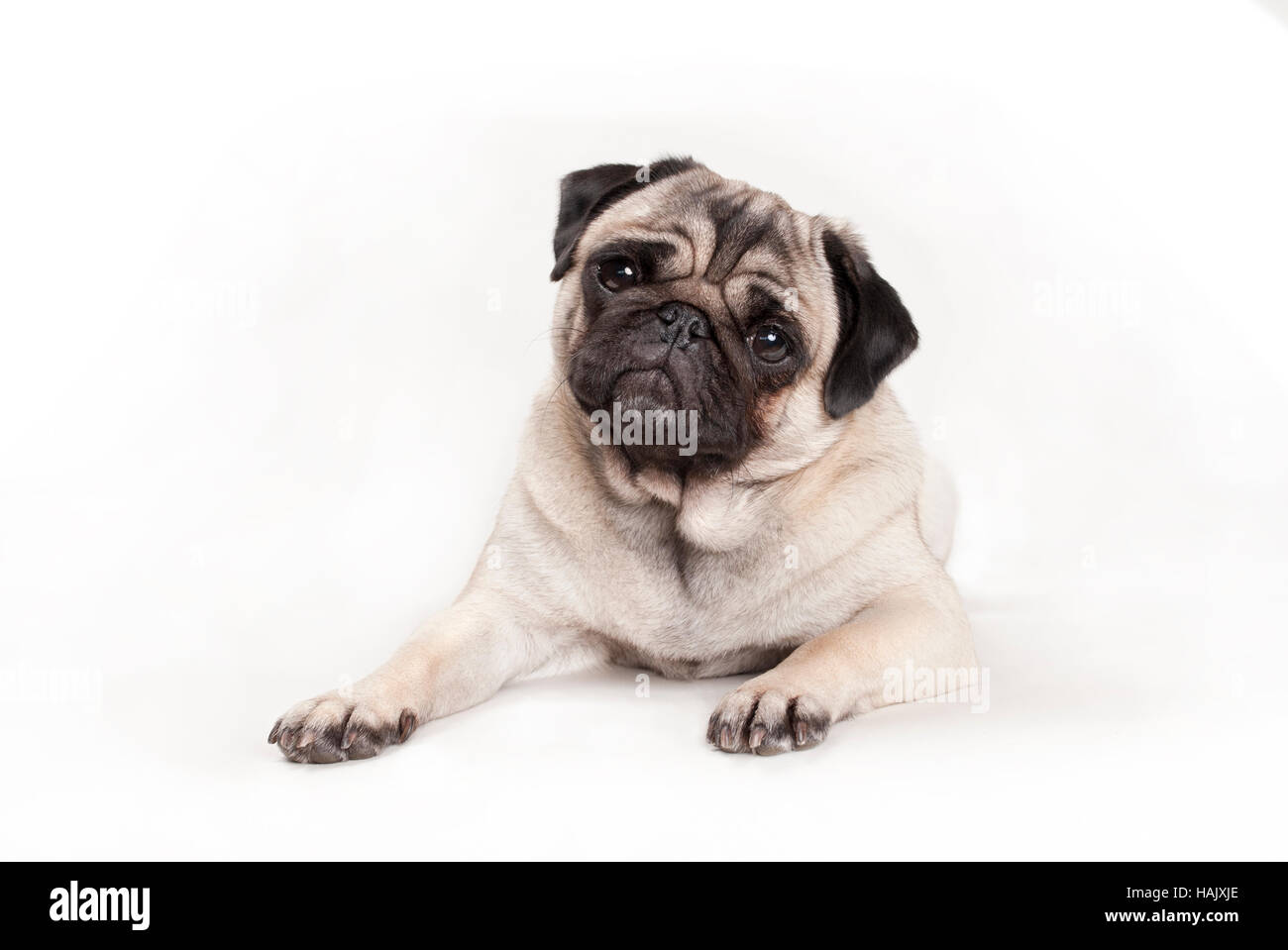 sweet pug puppy dog lying down on floor, looking cheeky - Stock Image