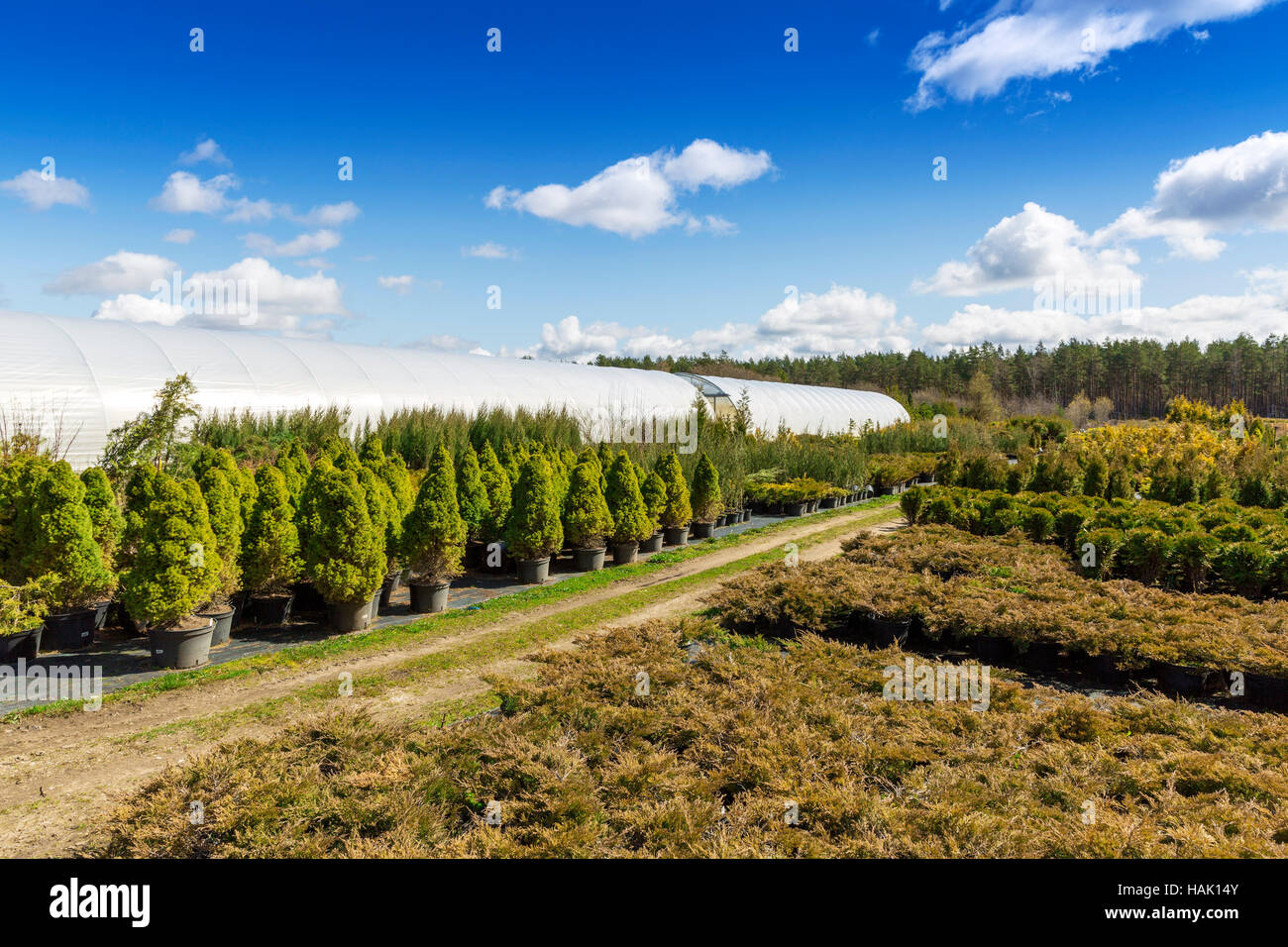 conifer plants in pots at outdoor tree nursery - Stock Image