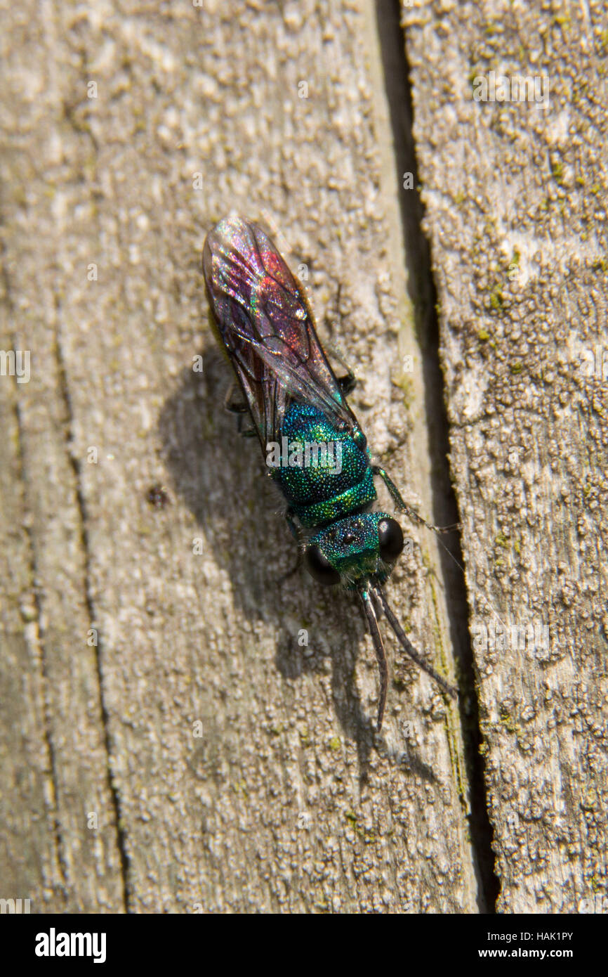 A Ruby-tailed Wasp on a wooden fence post. - Stock Image