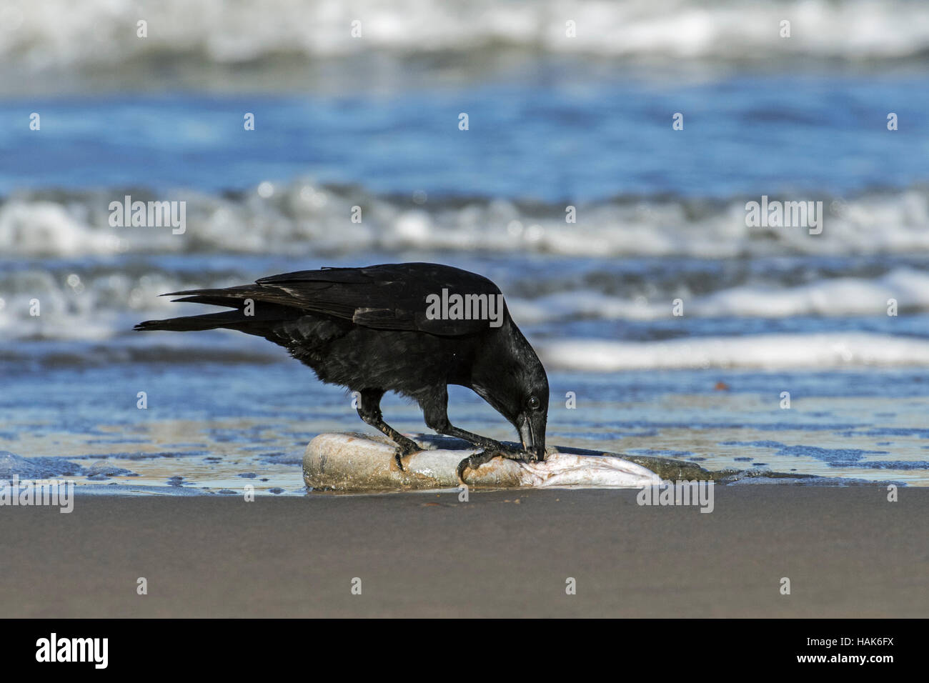 Scavenging carrion crow (Corvus corone) feeding on dead European conger eel (Conger conger) washed ashore on beach - Stock Image