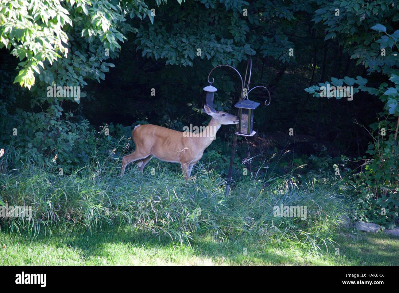 Doe deer eating from a backyard bird feeder. Champlin Minnesota MN USA - Stock Image