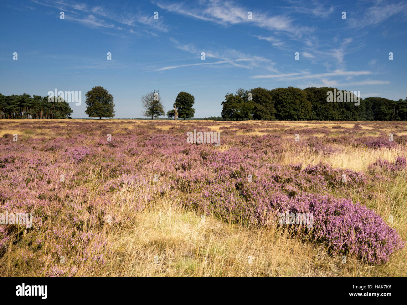 Flowering heathland Hoge Veluwe - Stock Image