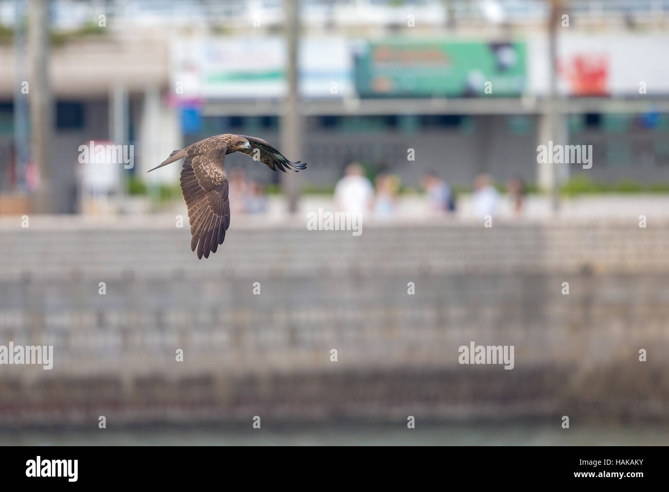 Black Kite  (Milvus migrans)  flying in city with blur city background Stock Photo