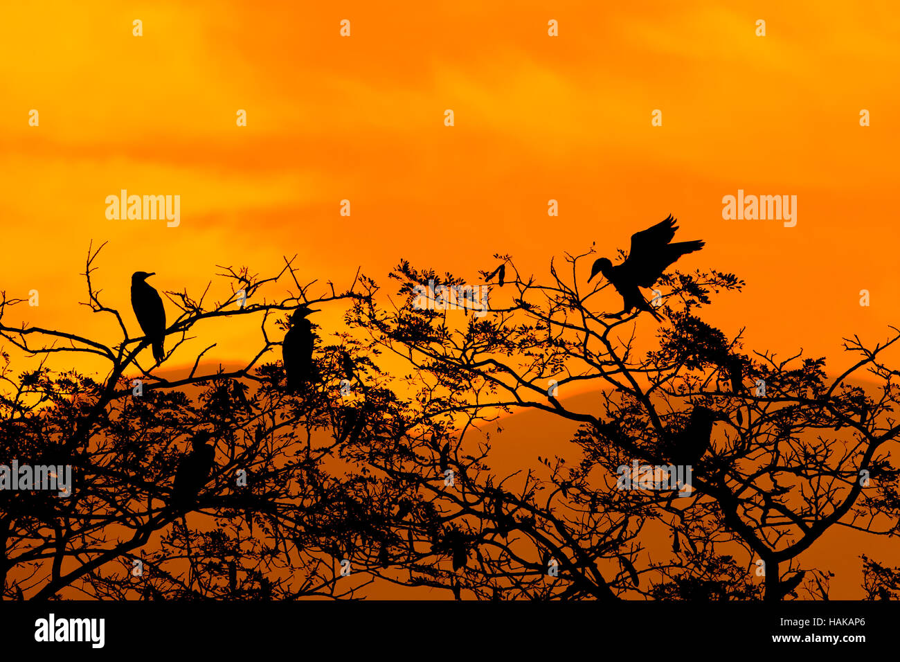 Silhouette Of Great Cormorant with Rising Sun - Stock Image