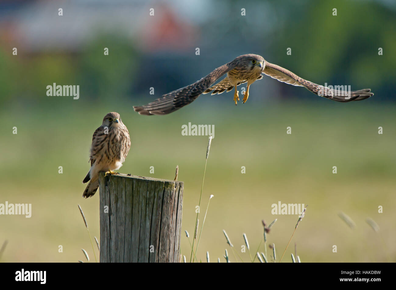Two juvenile kestrels (Falco tinnunculus) on top of a pole where one is just leaving with a green bokeh in the background - Stock Image