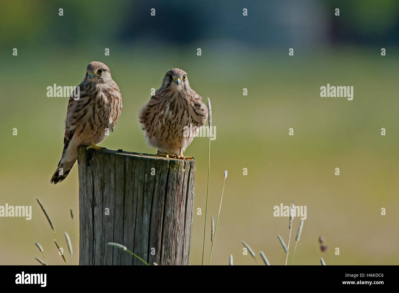 Two juvenile kestrels (Falco tinnunculus) on top of a pole with a green bokeh in the background - Stock Image