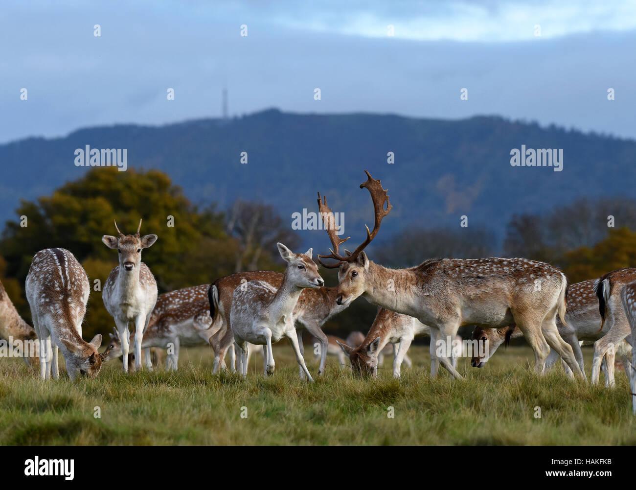 Fallow deer grazing near The Wrekin in Shropshire Uk - Stock Image