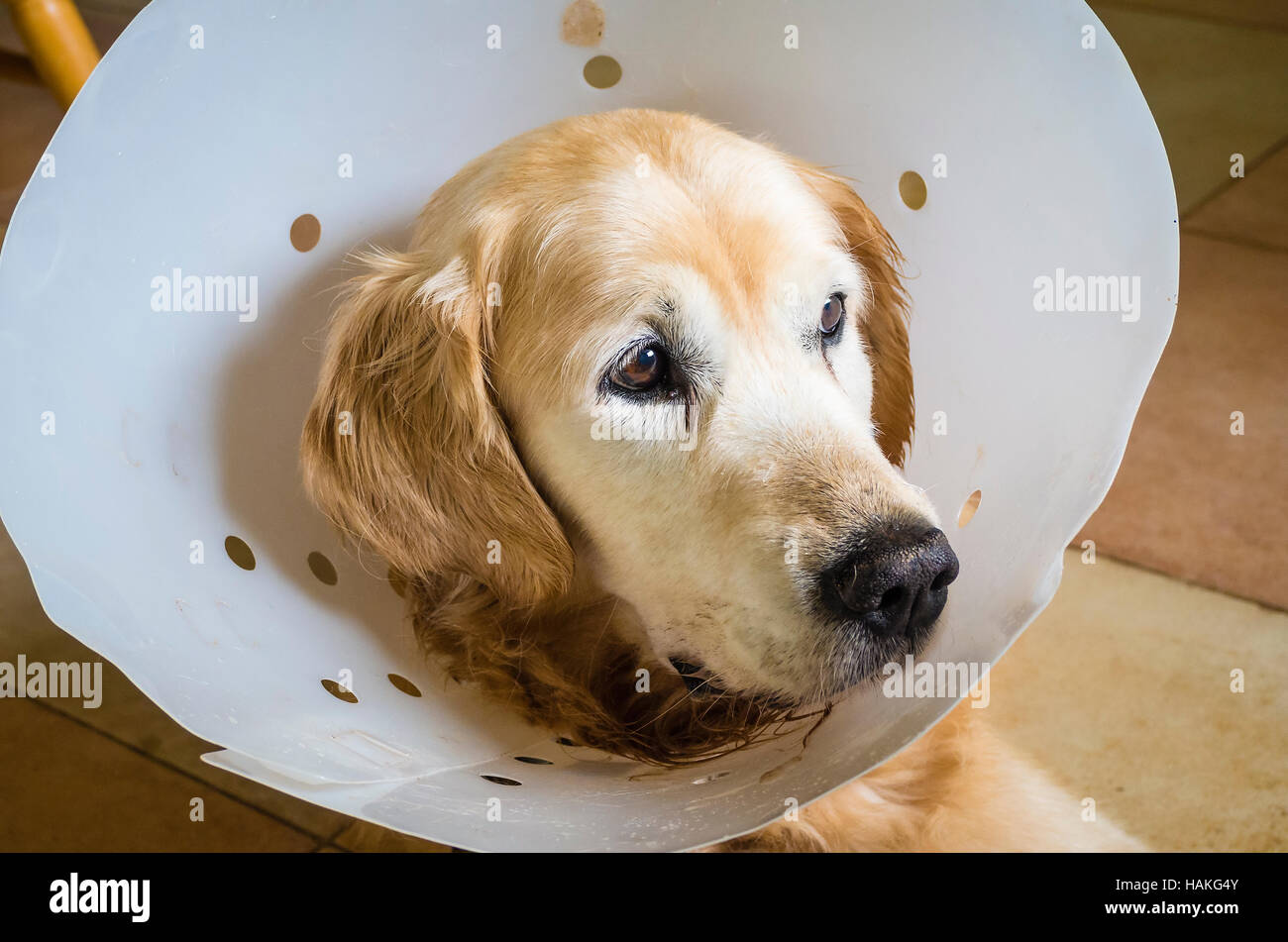 Golden Retriever dog wearing a protective surgical collar after an abdominal operation - Stock Image
