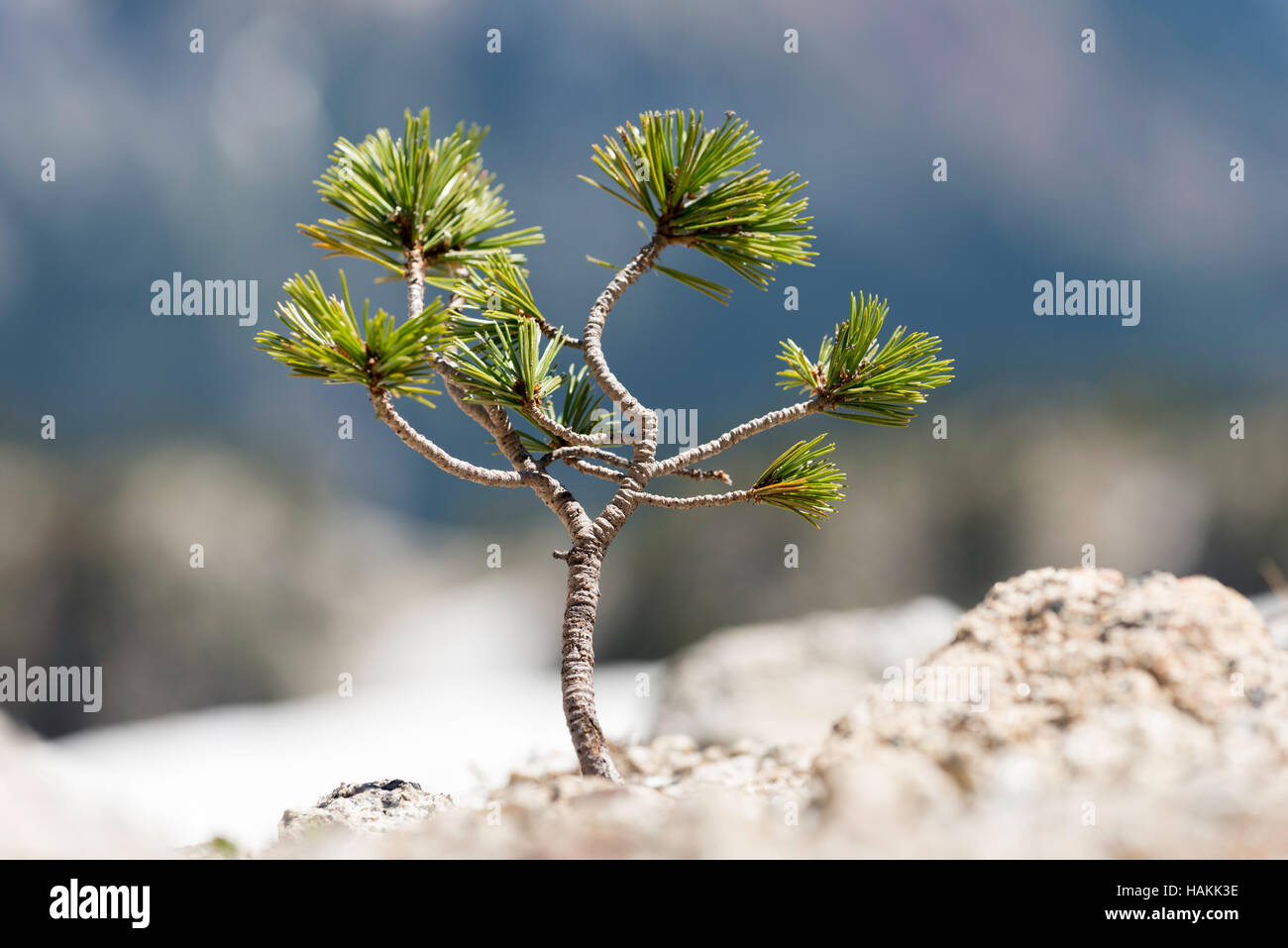 Whitebark pine seedling growing in the high country of Oregon's Wallowa Mountains. - Stock Image