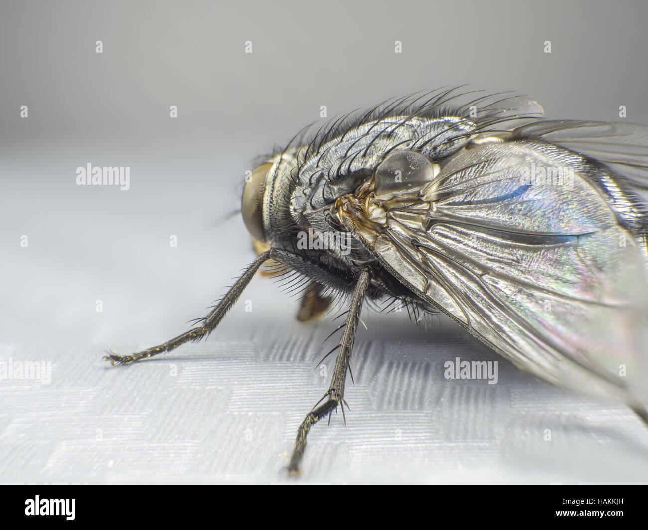 A fly insect closeup, macro shot, large hexapod, stacking