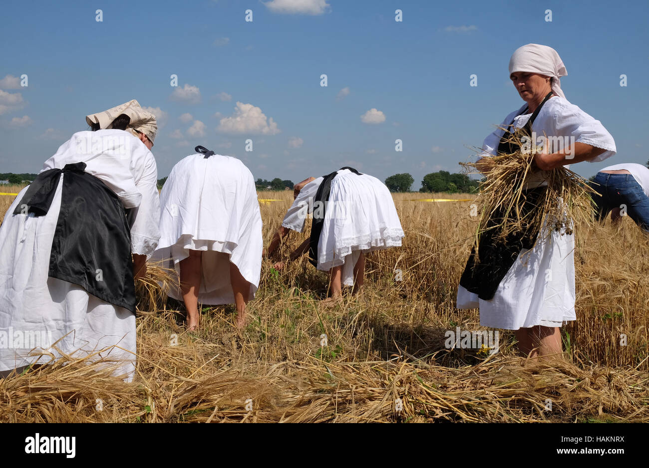 Peasant woman harvesting wheat with scythe in wheat fields in Nedelisce, Croatia - Stock Image