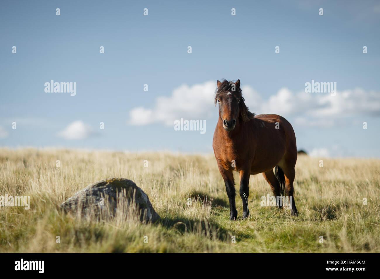 Dartmoor pony in a grassy field - Stock Image