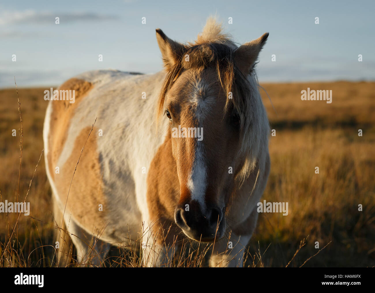 Dartmoor pony in a grassy field Stock Photo