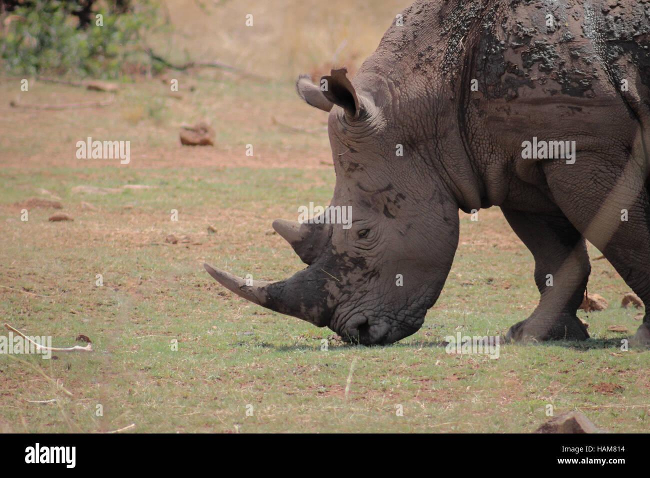 White rhinoceros closeup photo - Stock Image