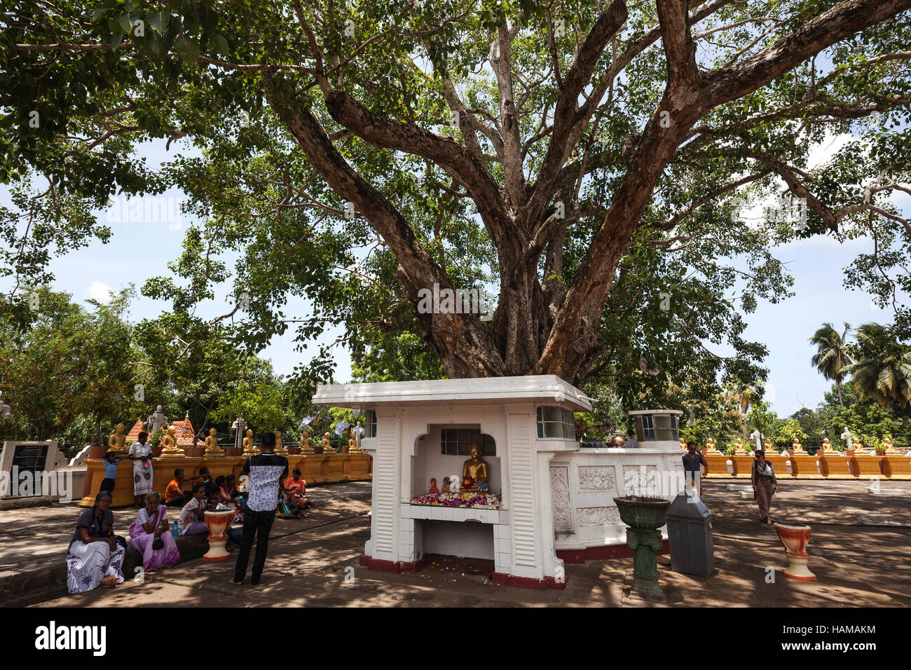 Locals sitting around sacred fig or bodhi (Ficus religiosa) tree, Temple Weherahena Temple, Matara, Southern Province, Stock Photo