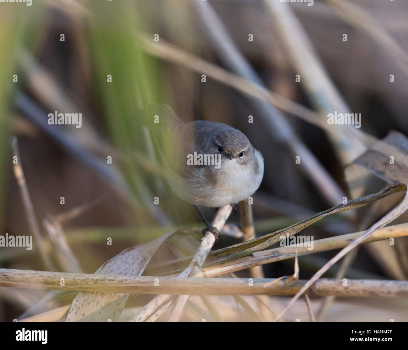 Siberian Chiffchaff, Phylloscopus collybita tristis, in a reed bed, at Llyn Coed-y-dinas, Stock Photo