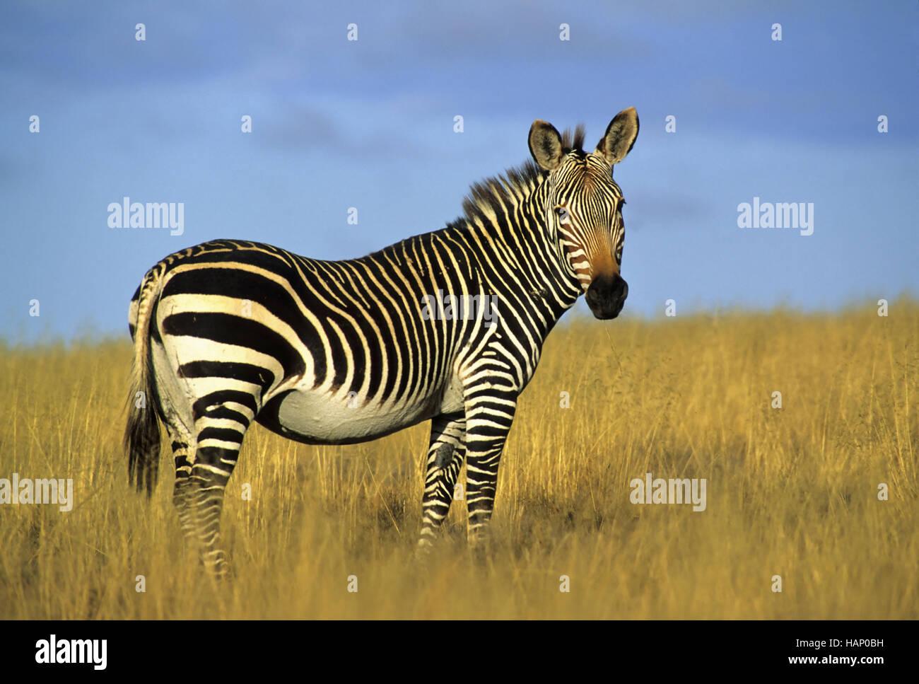 Zebra, South Africa, Suedafrika - Stock Image