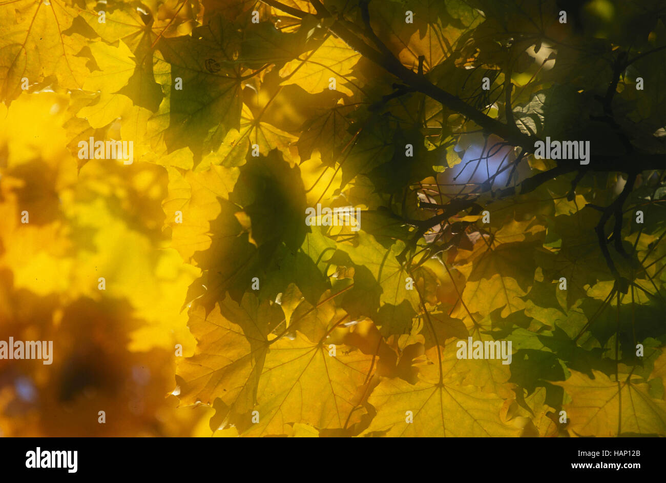 sycamore maple Stock Photo