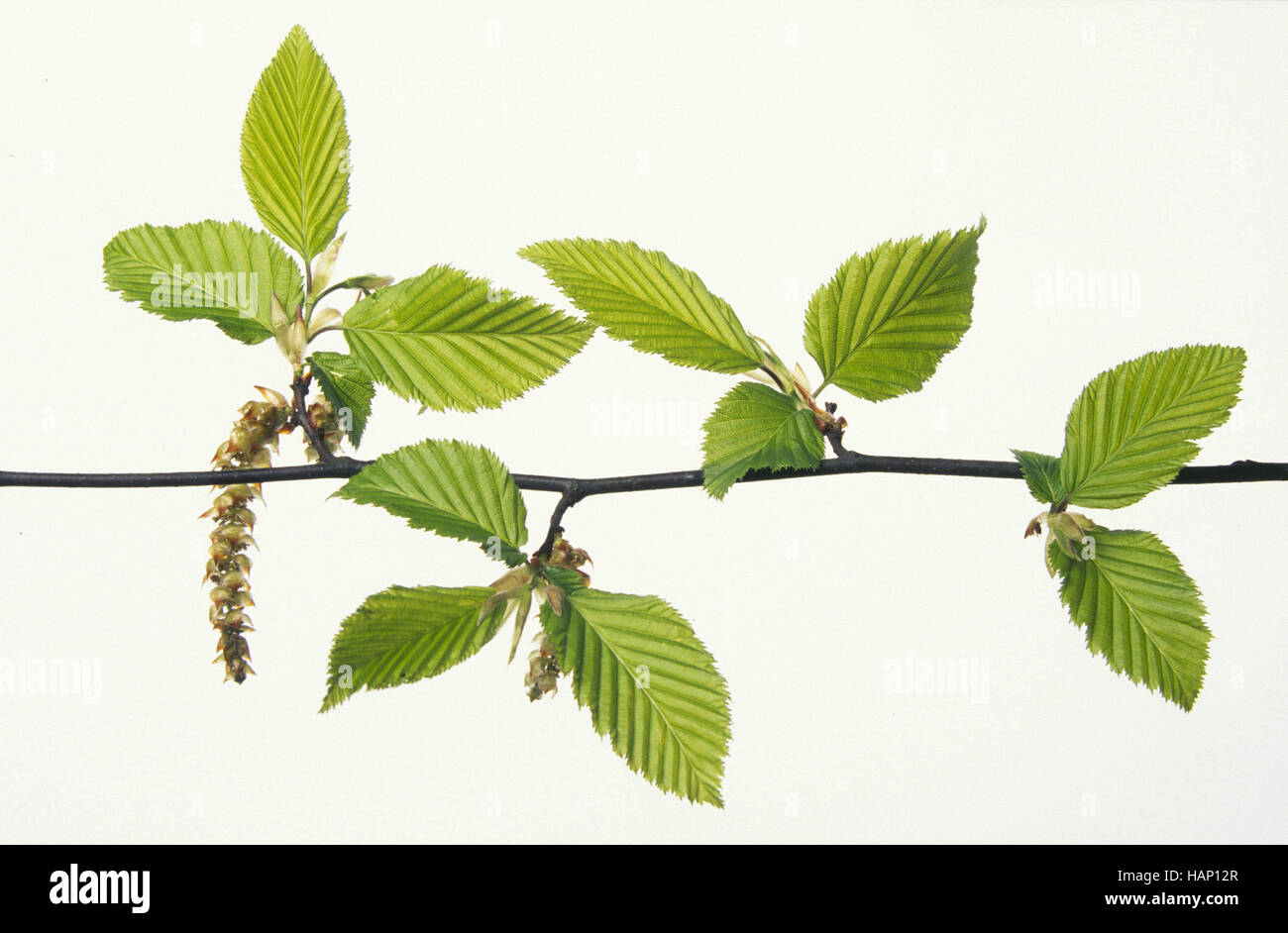 european hornbeam Stock Photo