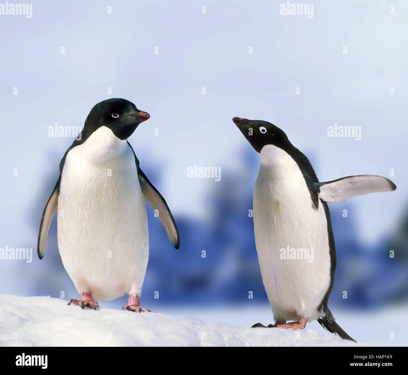 pinguin, spheniscidae, penguin - Stock Image