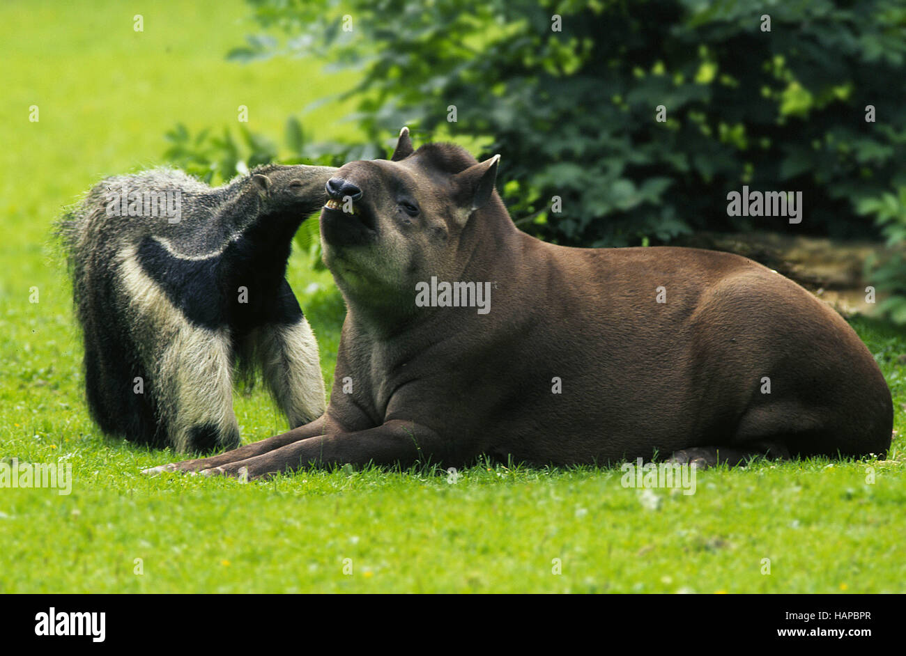 Giant Anteater and Southamerican Tapir Stock Photo