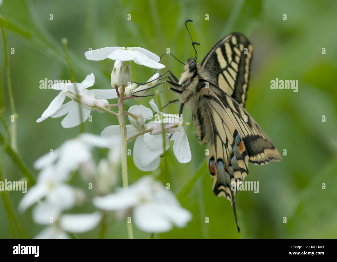 A nectaring swallowtail butterfly (Papilio machaon ) - Stock Image