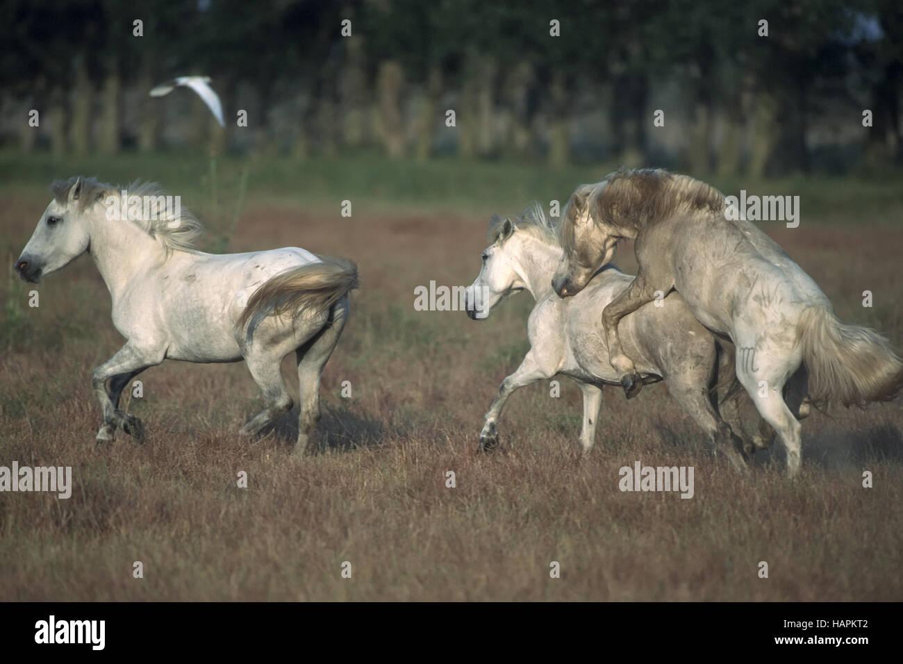 Camargue-Pferde Camargue horses - Stock Image