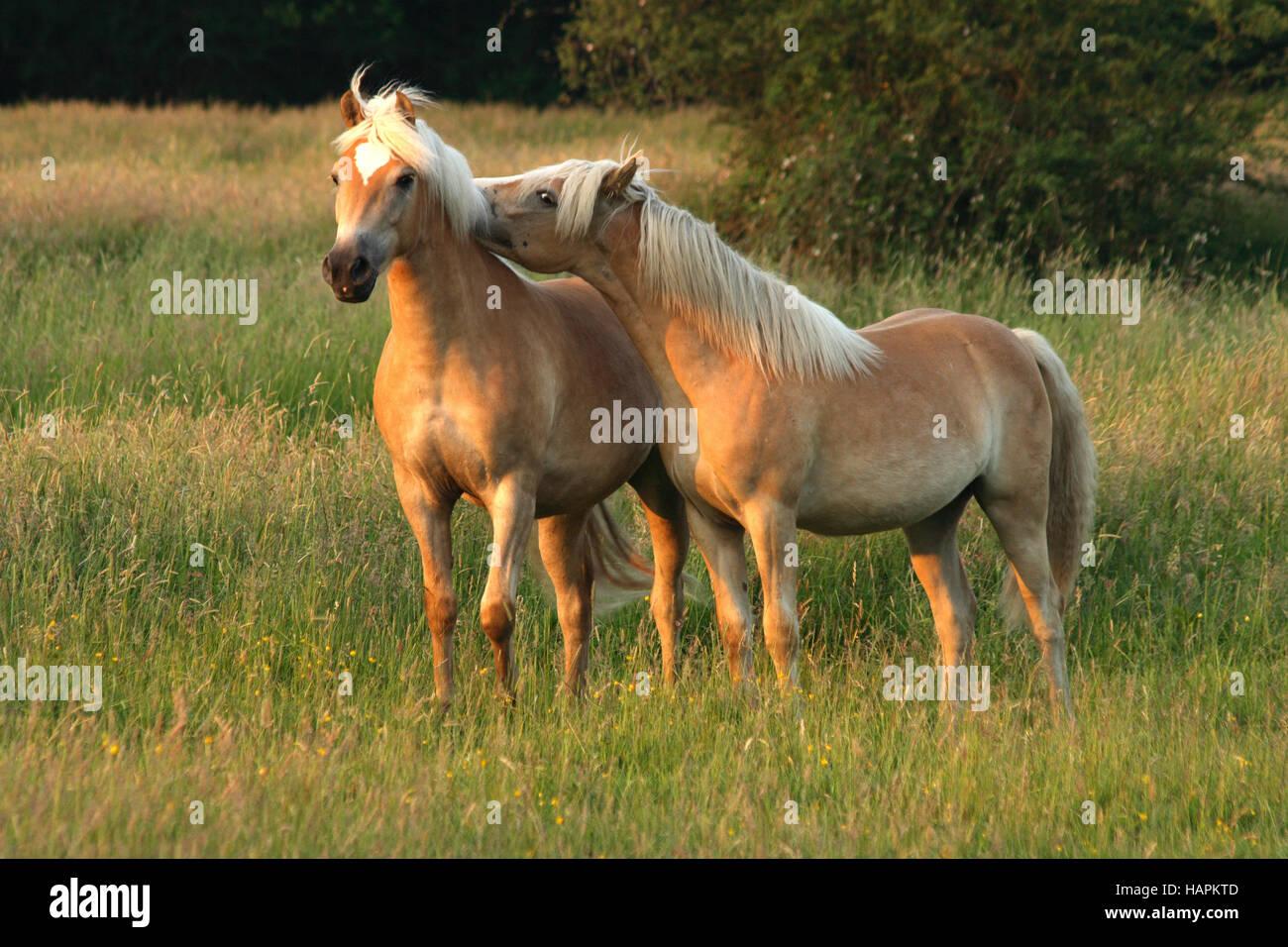 Haflinger Pferde, Haflinger Horses - Stock Image