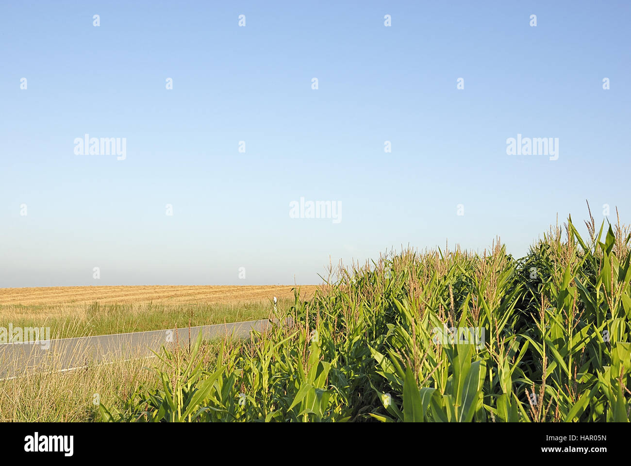 maisfeld 2 - maize/corn field 2 - Stock Image