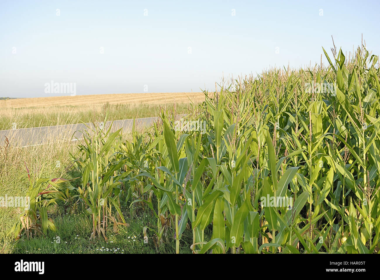 maisfeld - maize/corn field - Stock Image