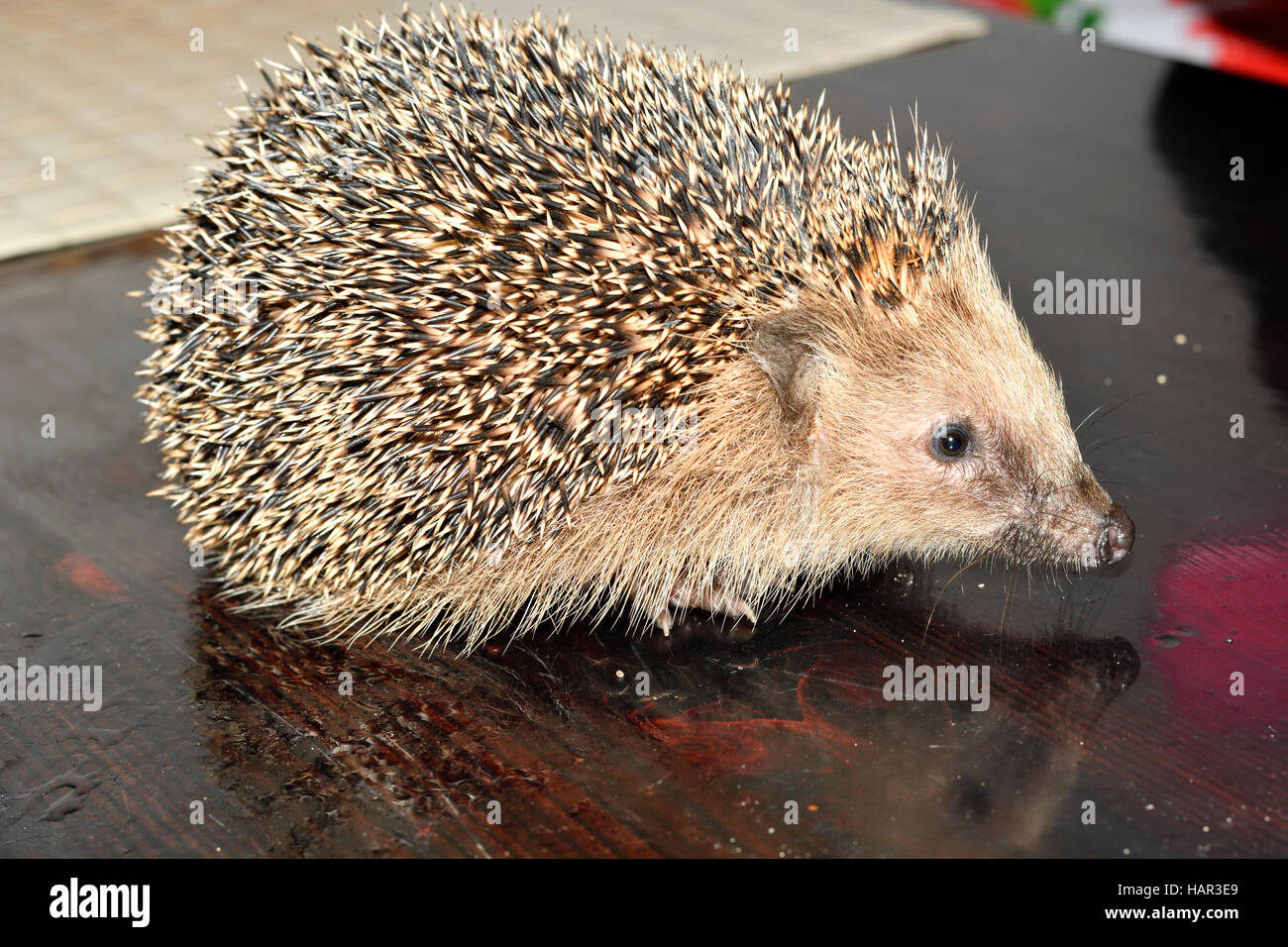 hedgehog curled up - Stock Image