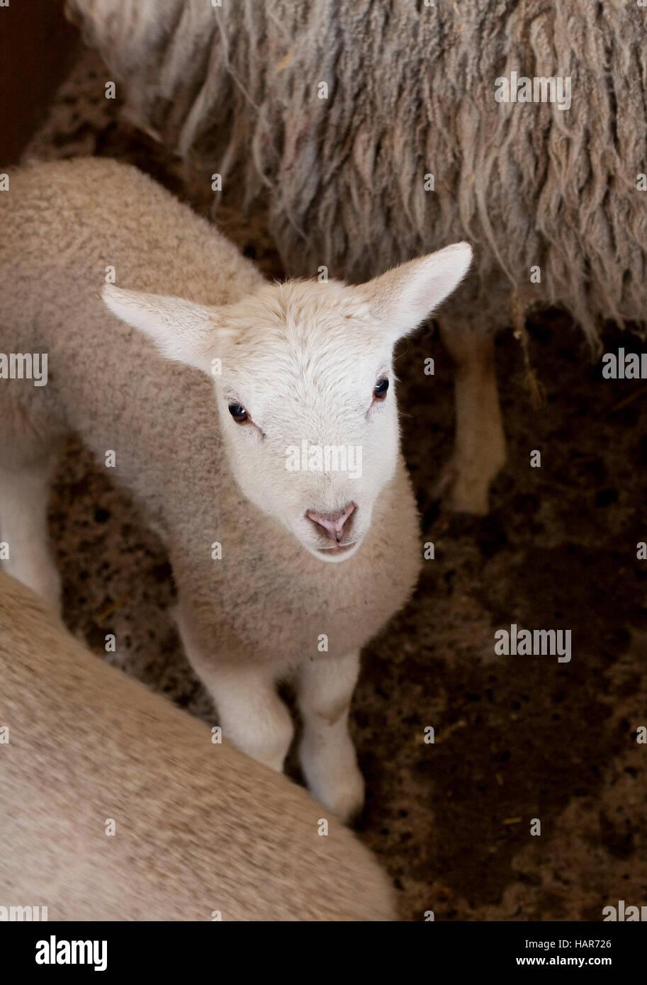 Young lamb looks up at camera Stock Photo